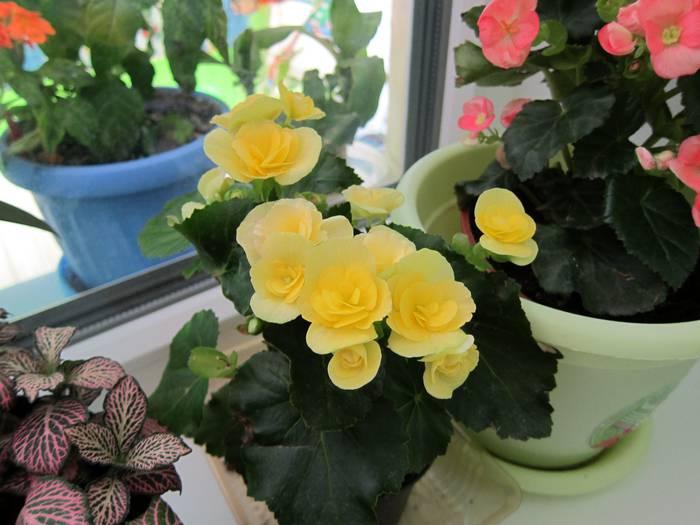 plantas begonias