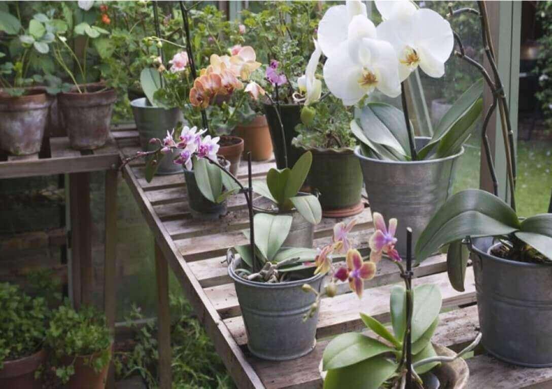 Como cuidar de orquídea em vasos para espaços abertos