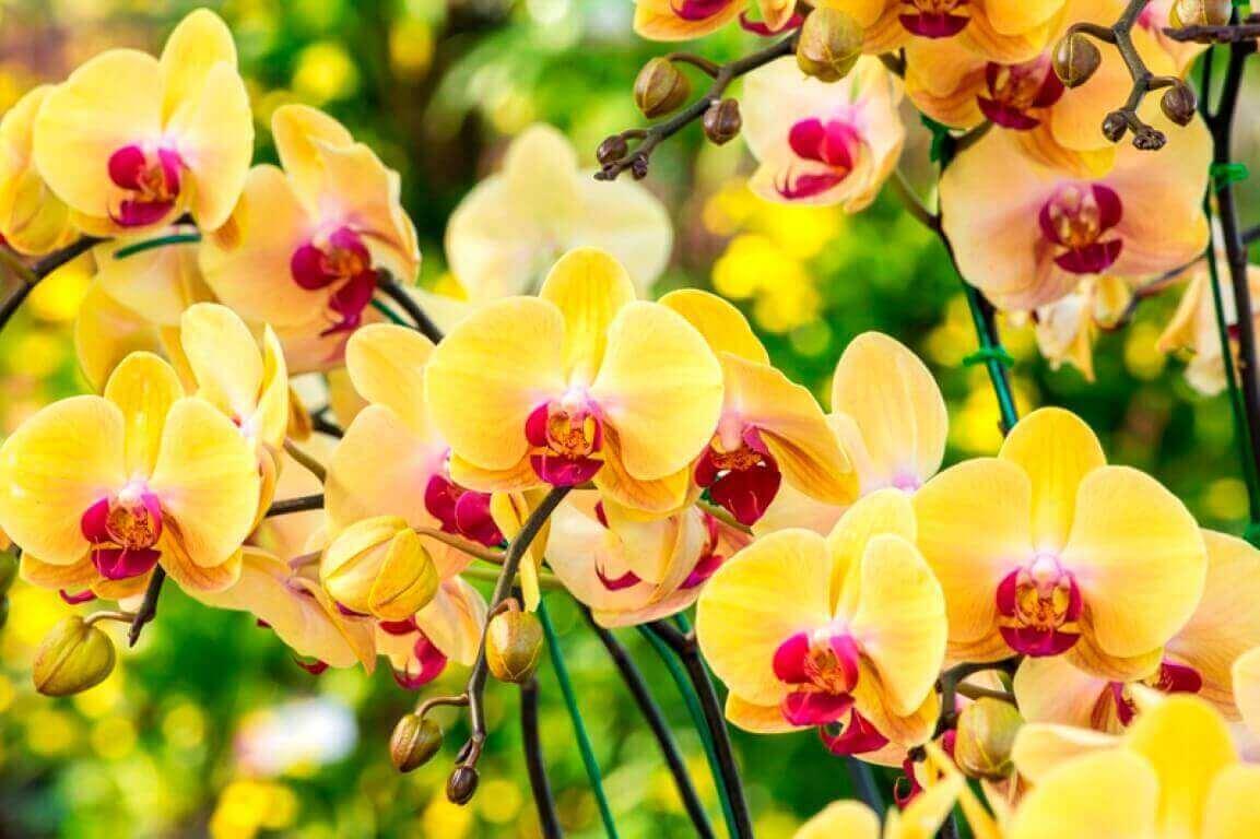Como cuidar de orquídea especial