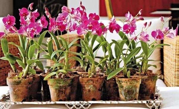 Como cuidar de orquídea vaso de barro