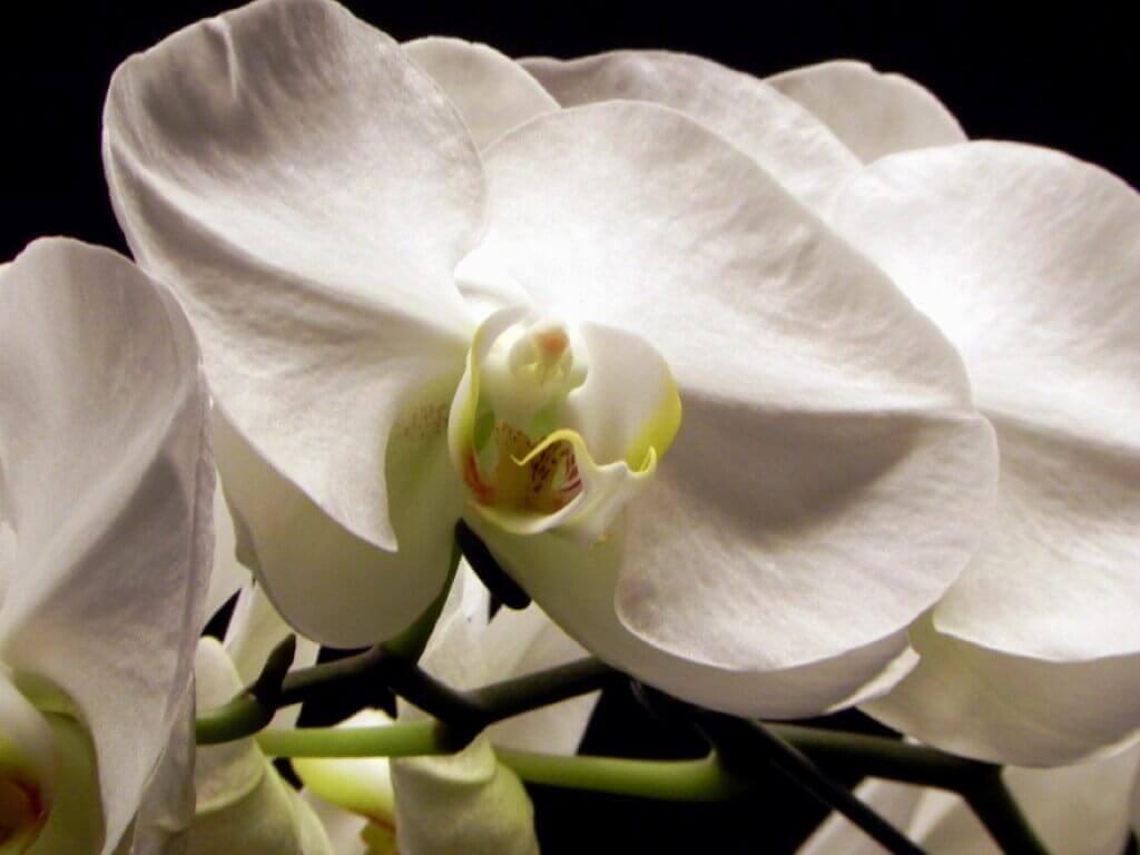 Como cuidar orquídea branca phalaenopsis