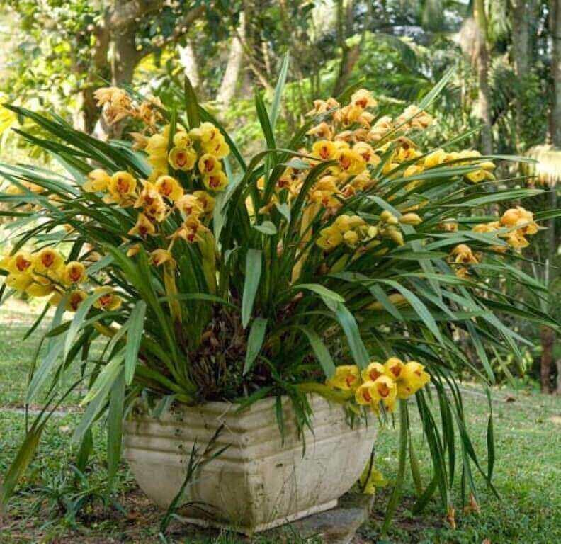 Como cuidar orquídea cymbidium amarela
