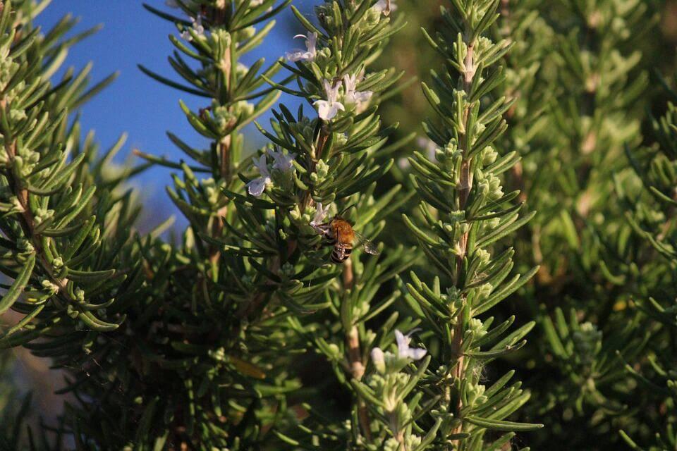horta em casa com alecrim abelha