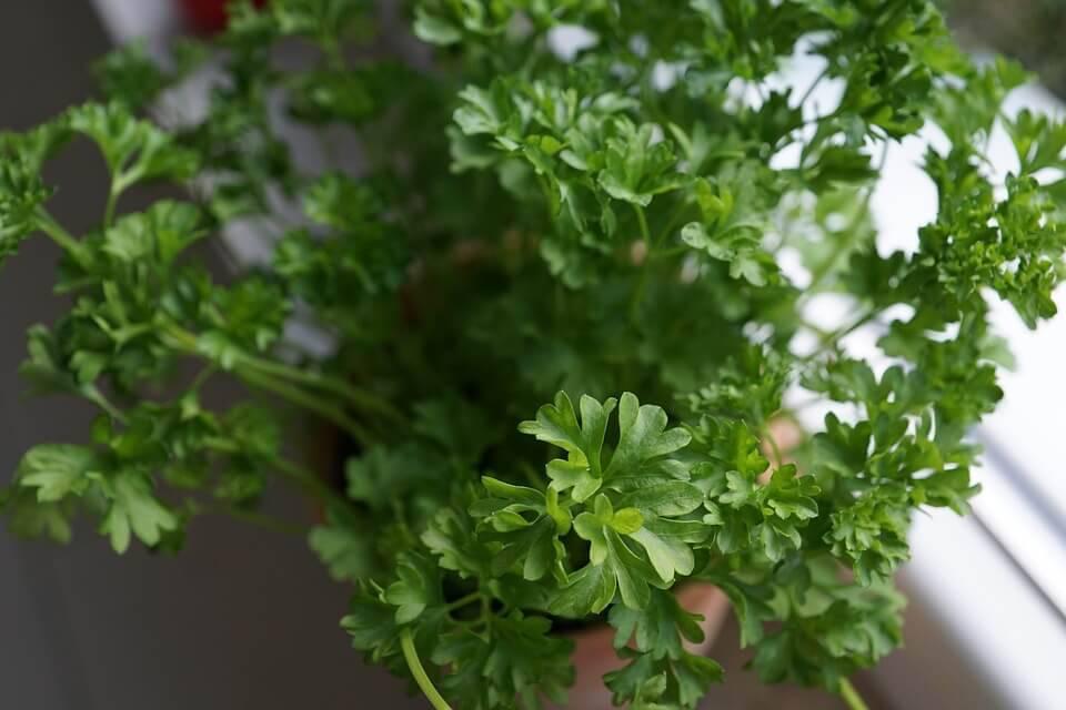 horta em casa com salsa
