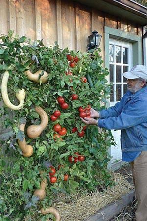 horta vertical com tomates e aboboras