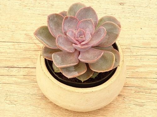 Suculentas echeveria em vaso
