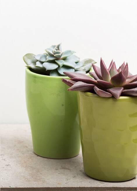 suculentas no vasinho verde