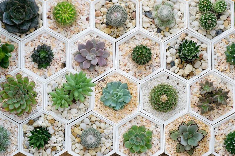suculentas variadas em hexagonos