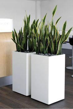 espada de sao jorge em vaso branco quadrado