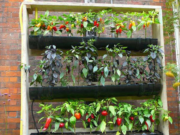 horta suspensa de pimentas