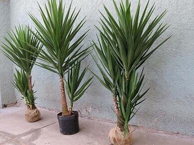 Iuca, uma das melhores plantas para jardim com pouco sol