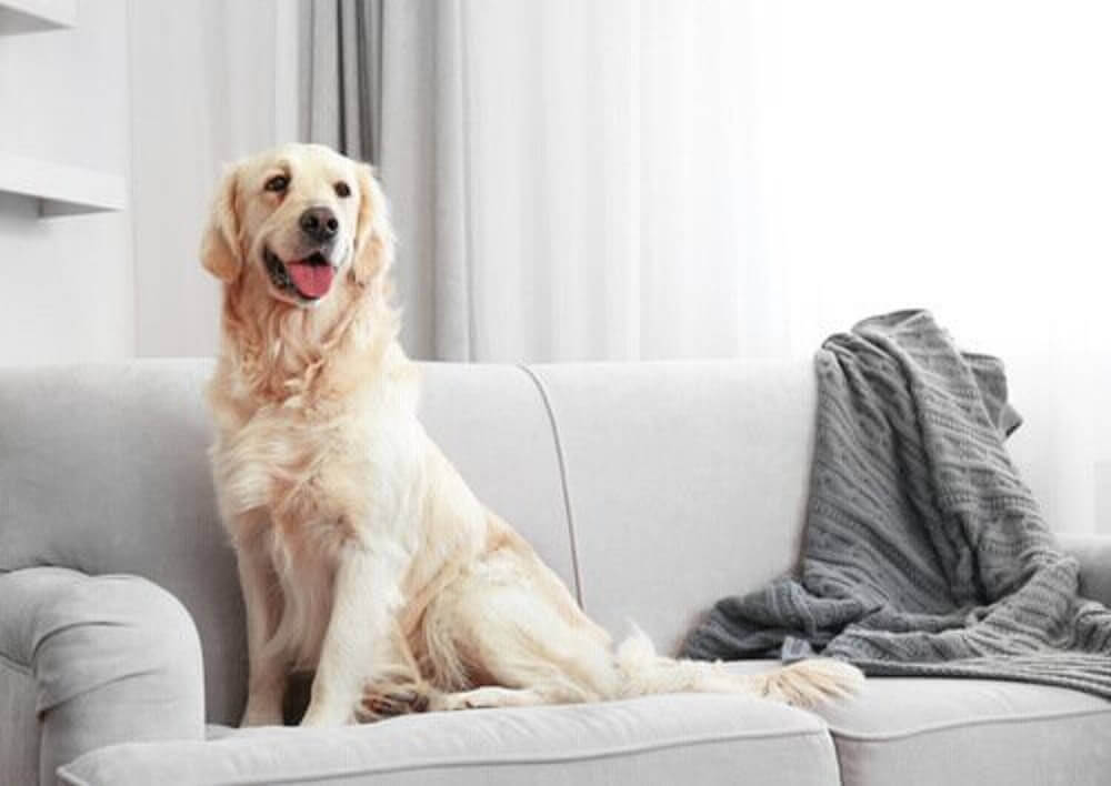 cachorro em cima do sofá