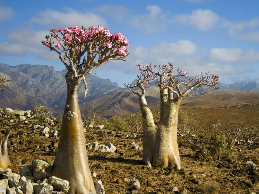 árvore de rosa do deserto