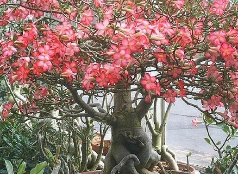 árvore de rosas do deserto