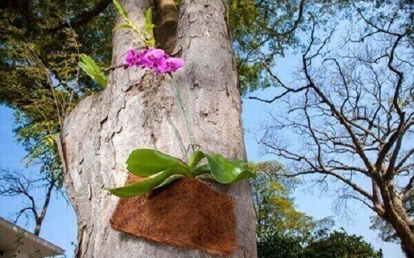 Como cuidar de orquídea phalaenopsis em árvore