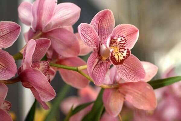 Como cuidar de orquídea rosa