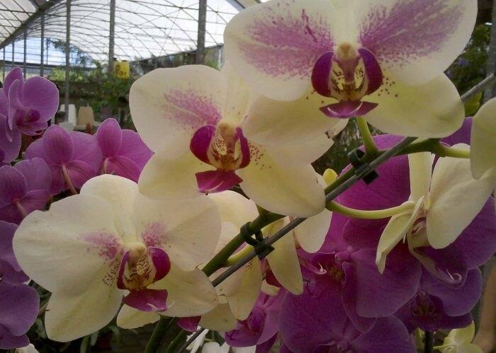 Orquídea da espécie de Phalaenopsis