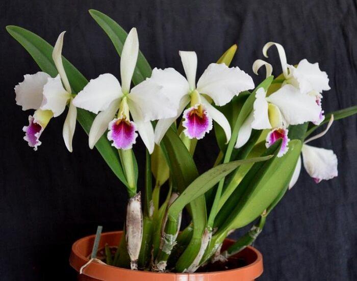 Tipos de orquídeas da espécie Cattleya