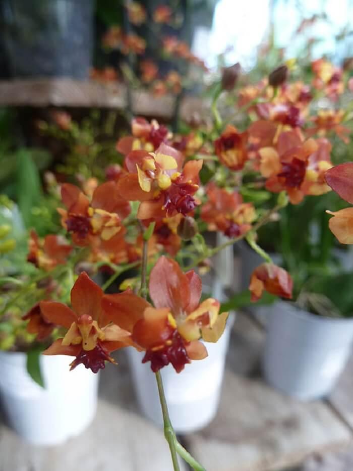 Tipos de orquídeas da espécie Oncidium