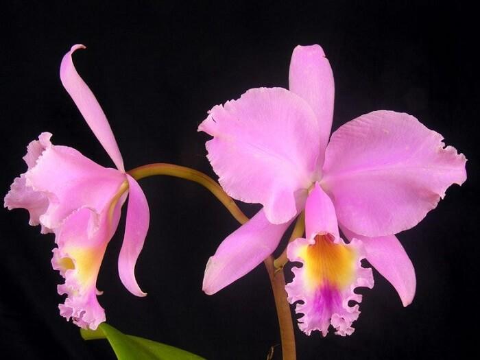 Tipos de orquídeas da espécie de Cattleya