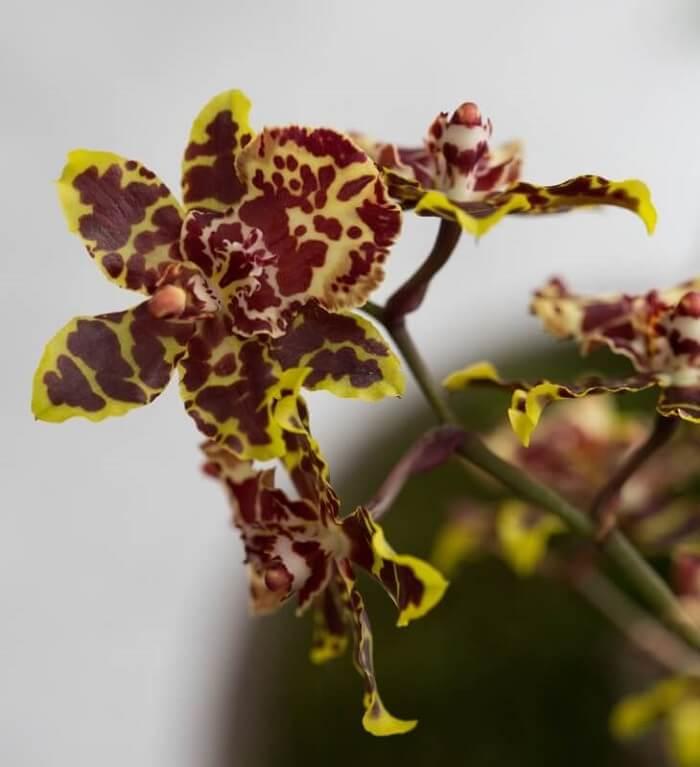 Orquídea da espécie de Oncidium