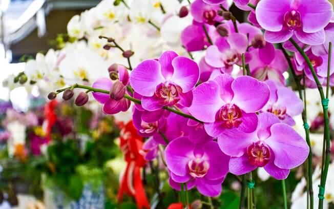 Tipo de orquideas flores nobres