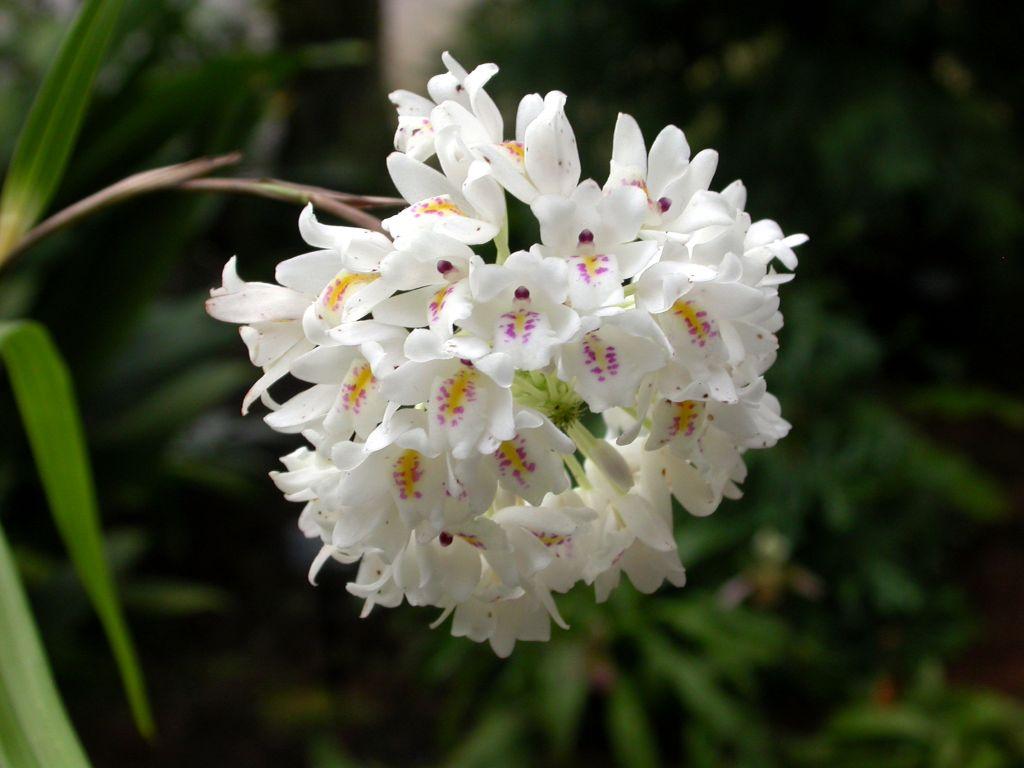 Tipos de Orquideas neobenthamia gracilis