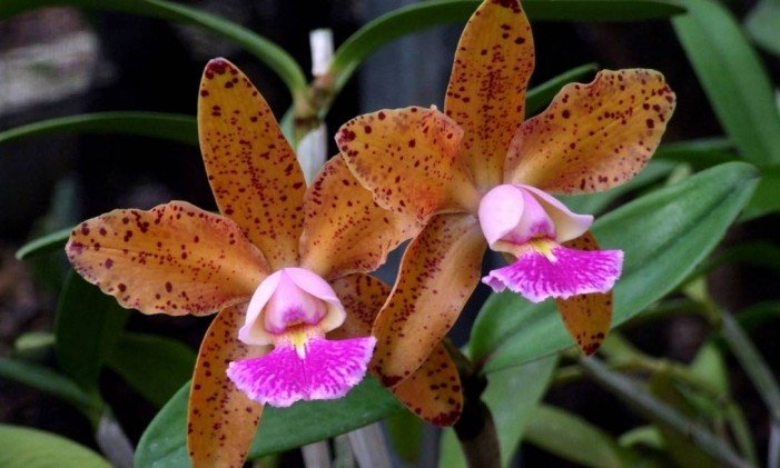 Tipos de orquídeas Cattleya Corcovado