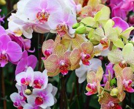 Tipos de orquídeas bambu
