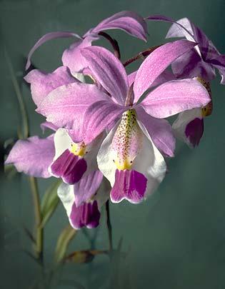 Tipos de orquídeas barkeria