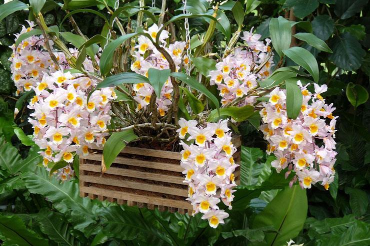 Tipos de orquídeas dendrobium