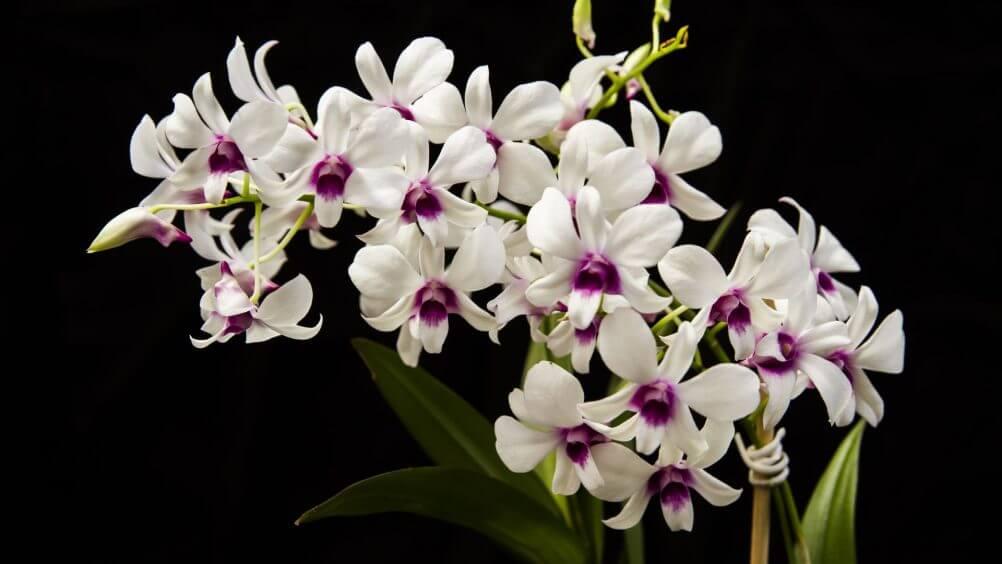 Tipos de orquídeas denphal