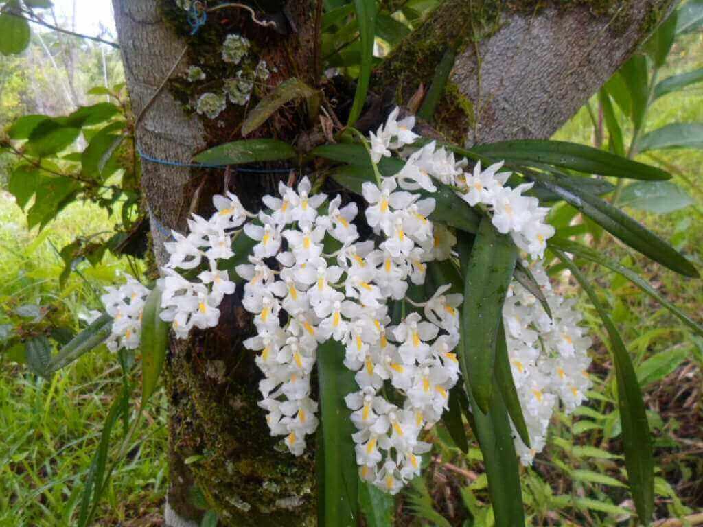 Tipos de orquídeas do mato