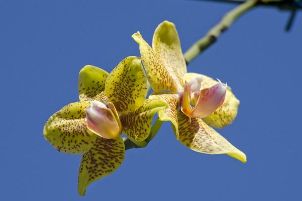 Tipos de orquídeas hibrido