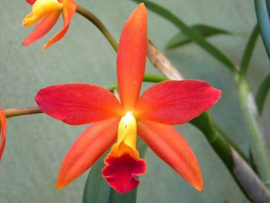 Tipos de orquídeas hibridas laranjas