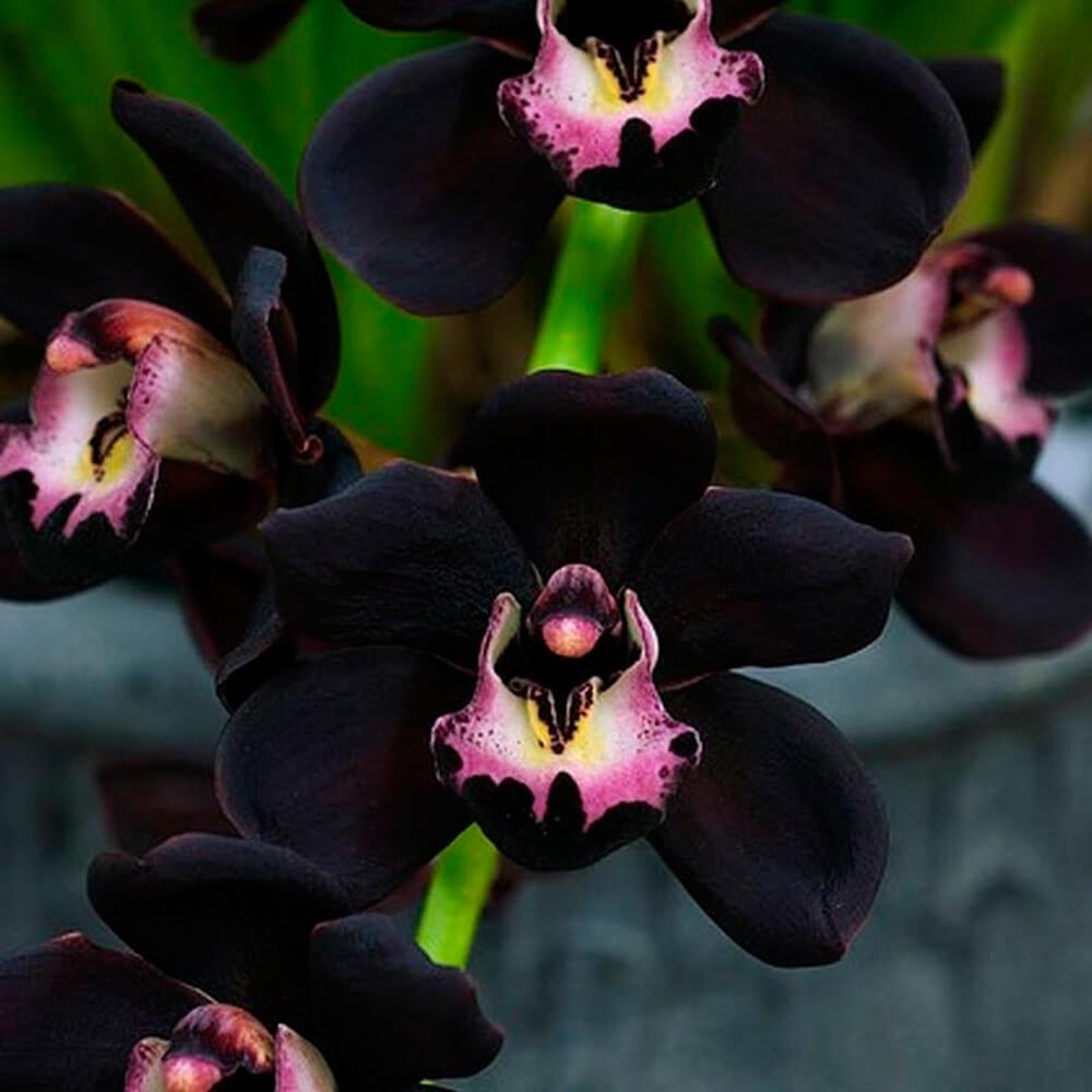 Tipos de orquídeas negras