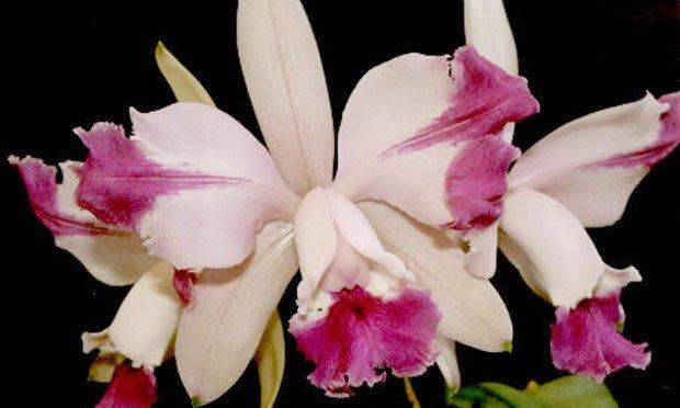 Tipos de orquidea brasileira cattleya