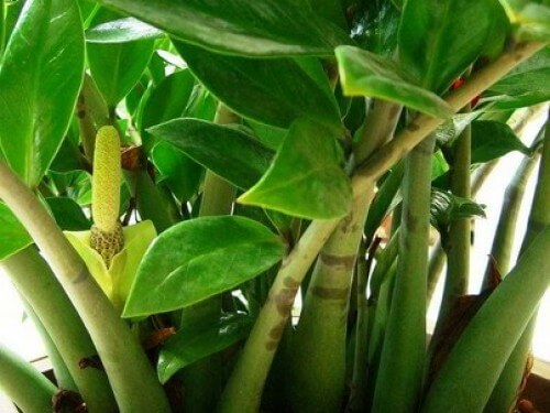 Zamioculcas como plantar