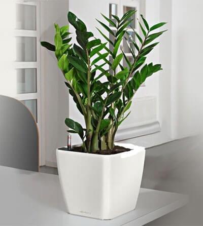 Zamioculcas em cima da mesa em vaso branco