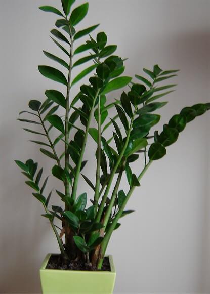 Zamioculcas em vaso verde