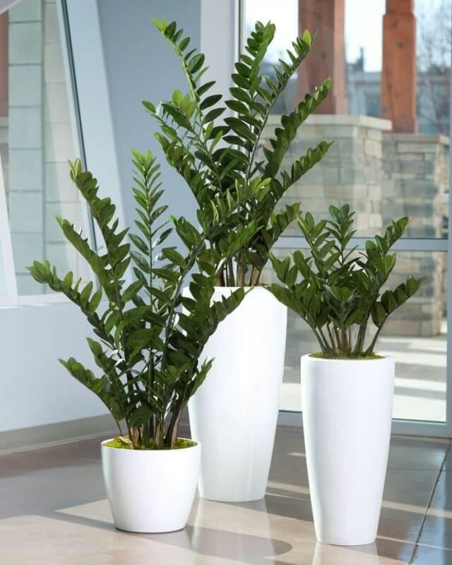 Zamioculcas em vasos de tamanhos diferentes