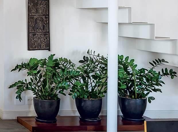 Zamioculcas embaixo da escada