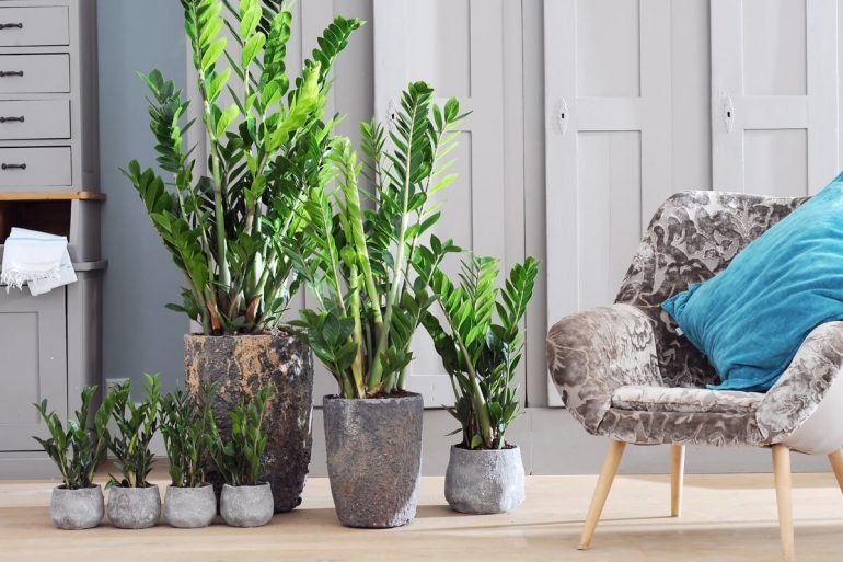 Zamioculcas em decoração minimalista