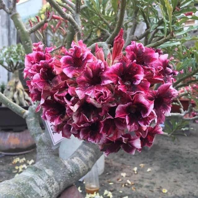 Rosas do deserto mudas