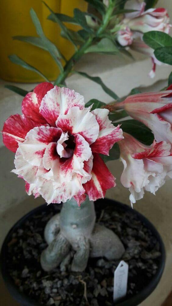 Rosa do deserto como fazer mudas