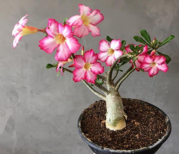 Rosa do deserto significado é lindo