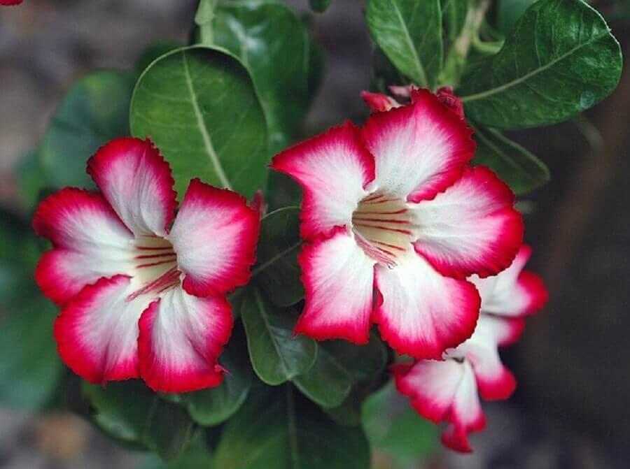 rosa do deserto mescla branca e vinho
