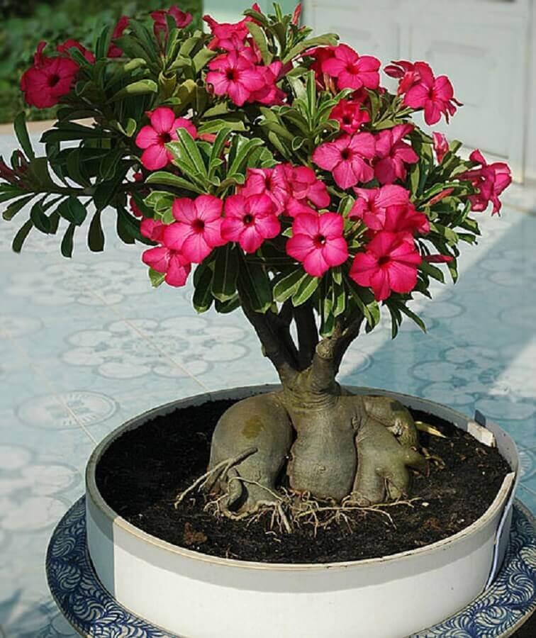 rosa do deserto pink