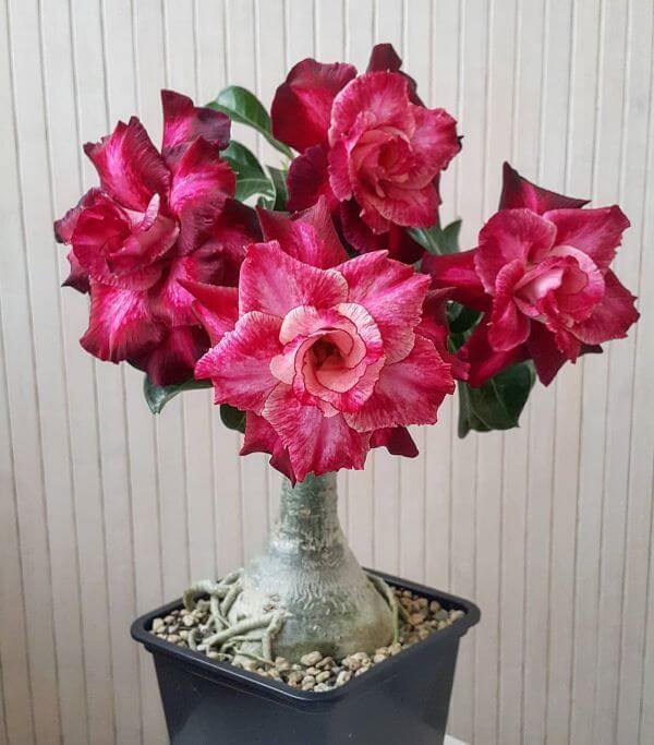 Rosa do deserto em tons de rosa e marsala