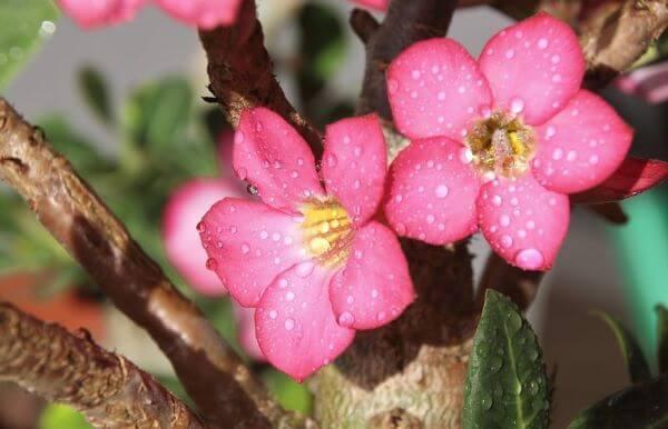 Rosa do deserto no jardim